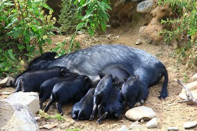 河南省焦作市博爱县藏香猪 60斤以上
