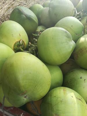安徽省合肥市蜀山区椰青 6斤以上