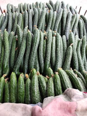 河南省焦作市博爱县密刺黄瓜 30cm以上 鲜花带刺