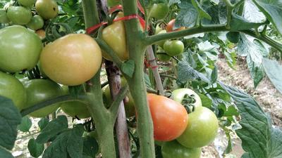 广西壮族自治区桂林市临桂县硬粉番茄 不打冷 大红 通货