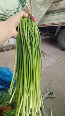 山东省潍坊市安丘市红帽蒜薹 一茬 70cm以上 精品