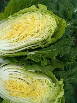 山东省青岛市平度市黄心大白菜 6~10斤 毛菜