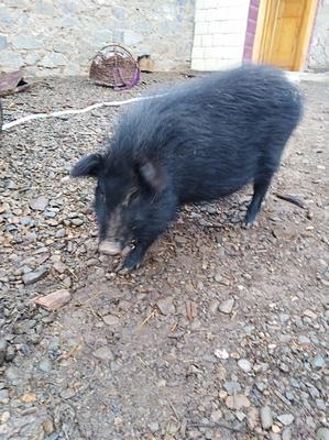 甘肃省临夏回族自治州和政县藏香猪 20-40斤