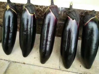 云南省普洱市思茅区茄子种子