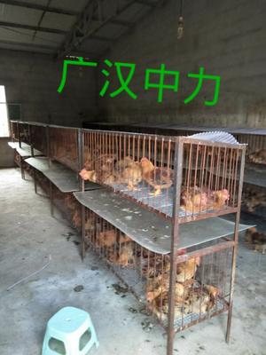 这是一张关于K9鸡苗的产品图片