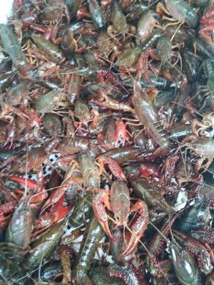 这是一张关于中国小龙虾 塘虾 456789.0钱的产品图片