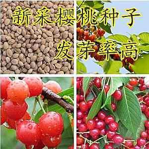 辽宁省营口市鲅鱼圈区樱桃种子