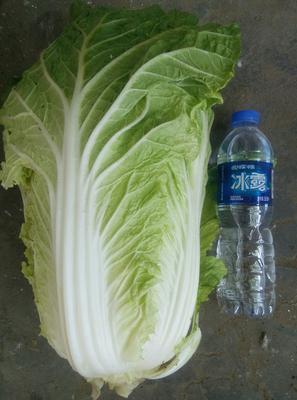 河南省安阳市内黄县黄心大白菜 3~6斤 二毛菜