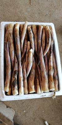 这是一张关于鞭笋 9~13cm 鲜笋的产品图片