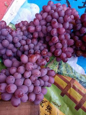 这是一张关于克伦生葡萄 5%以下 1次果 1.5- 2斤的产品图片
