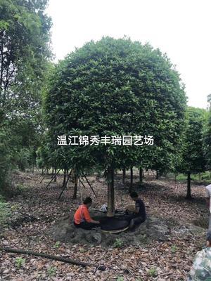 四川省成都市温江区桂花树