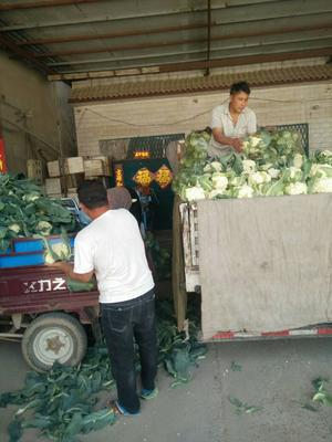 河南省开封市通许县有机松花菜 适中 2~3斤 乳白色