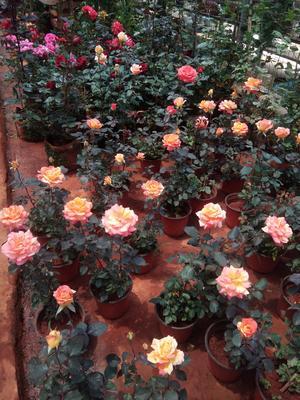 云南省昆明市呈贡区玫瑰月季种苗