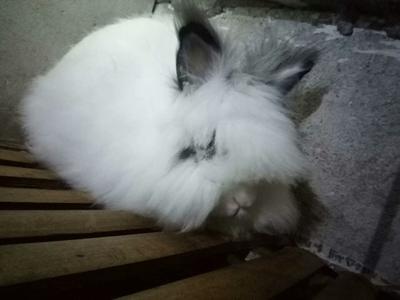 山东省滨州市无棣县宠物兔 1-3斤