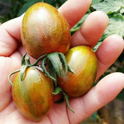 山东省临沂市沂水县七彩番茄 不打冷 黛粉 弧一以下