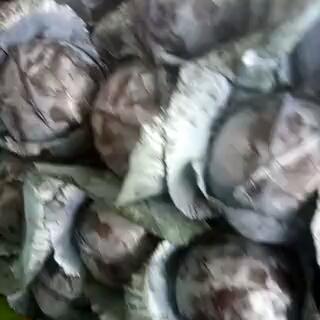 河北省邯郸市永年县紫甘蓝 2.5~3.0斤