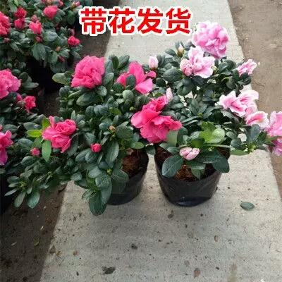 江苏省宿迁市沭阳县杜鹃花 0.5米以下