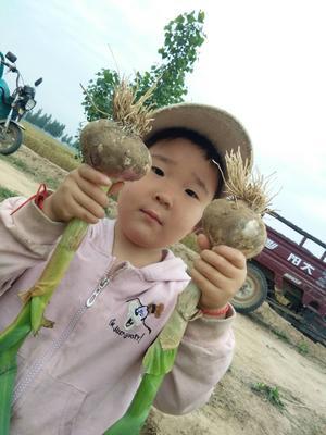 山东省菏泽市东明县紫皮大蒜 5~5.5cm 多瓣蒜