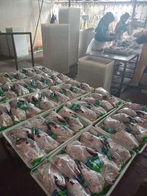 山东省德州市平原县七彩山鸡 2-3斤