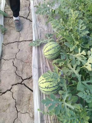 江苏省南京市下关区8424西瓜 有籽 1茬 9成熟 6斤打底