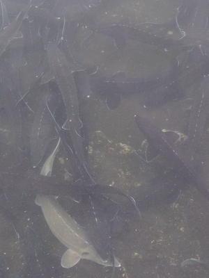 河北省唐山市丰润区匙吻鲟 人工殖养 2-4公斤