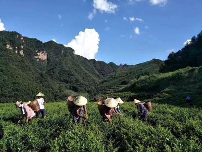 湖南省张家界市永定区新工艺白茶 散装 特级