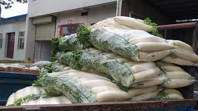 陕西省渭南市华县白玉春萝卜 2~2.5斤