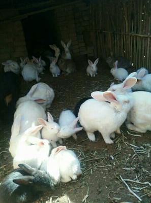 河南省郑州市巩义市肉兔 5斤以上