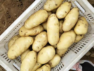 山东省临沂市沂水县荷兰15号土豆 3两以上