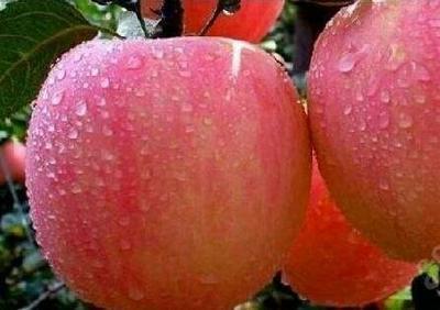 江苏省徐州市丰县红富士苹果 膜袋 条红 85mm以上