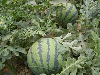 陕西省渭南市华阴市京欣西瓜 有籽 1茬 8成熟 8斤打底