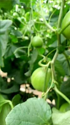 河南省濮阳市华龙区绿宝甜瓜 0.5斤以上