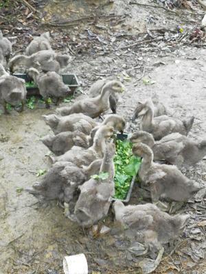 广西壮族自治区南宁市上林县狮头鹅 统货 半圈养半散养 12斤以上