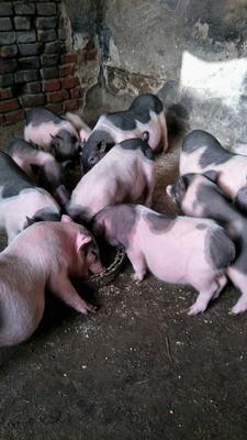 河北省石家庄市赵县巴马香猪 40-60斤