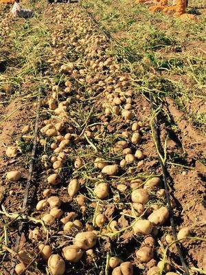 河北省承德市围场满族蒙古族自治县冀张薯12种薯 一级原种