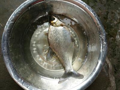 重庆潼南县池塘鳊鱼 人工养殖 0.5公斤以下