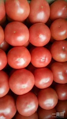 河北省邯郸市临漳县硬粉番茄 不打冷 硬粉 弧三以上