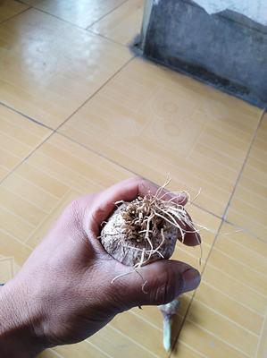 山东省德州市平原县紫皮大蒜 5~5.5cm 多瓣蒜