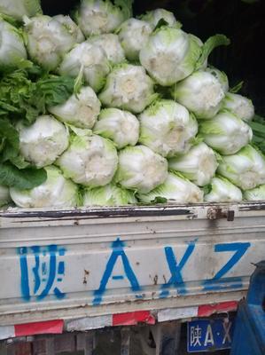 陕西省渭南市华县菊锦春白菜 3~6斤 二毛菜
