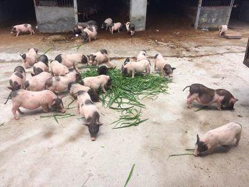 广东省湛江市徐闻县野香猪 80斤以上
