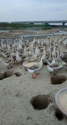 湖北省天门市天门市大白鹅 统货 全散养 6-8斤