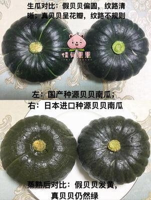 江苏省无锡市惠山区板栗南瓜 0.7~1.0斤 扁圆形