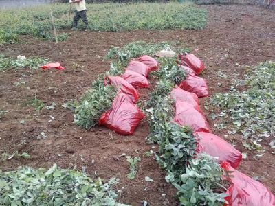 湖南省湘西土家族苗族自治州古丈县紫色一号八月瓜 种植 60g以下