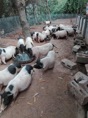 广西壮族自治区南宁市良庆区巴马香猪 60斤以上
