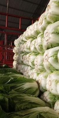 甘肃省定西市临洮县黄心大白菜 3~6斤 净菜