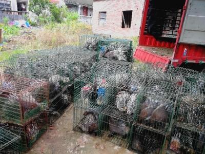 海南省琼海市琼海市海南豪猪 20-30斤