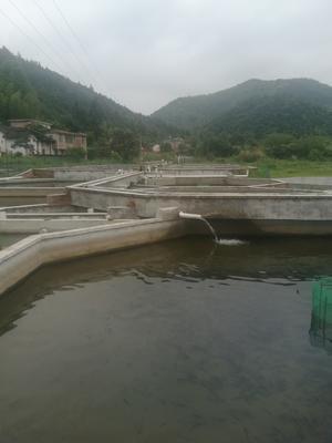江西省赣州市于都县西伯利亚杂交鲟 人工殖养 1-2公斤