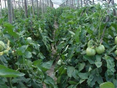 天津东丽区欢坨一线西红柿 不打冷 硬粉 弧一以下