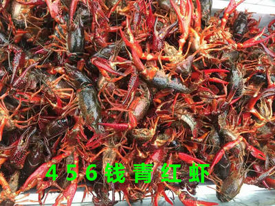 这是一张关于红壳小龙虾 稻田虾 4-6钱的产品图片