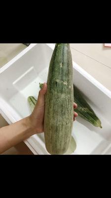 山东省济南市商河县羊角脆甜瓜 1斤以上